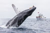 Humpback whale breaching, pectoral fin and rostrom visible. San Diego, California, USA. Image #27955
