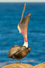 California Brown Pelican head throw, stretching its throat to keep it flexible and healthy. La Jolla, California, USA. Image #28347