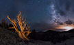 Ancient Bristlecone Pine Tree at night, stars and the Milky Way galaxy visible in the evening sky, near Patriarch Grove. Ancient Bristlecone Pine Forest, White Mountains, Inyo National Forest, California, USA. Image #28782