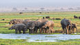 African elephant herd, drinking water at a swamp, Amboseli National Park, Kenya.