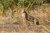 Cheetah, Meru National Park. Kenya. Image #29619