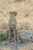 Cheetah and cub, Meru National Park. Kenya. Image #29621