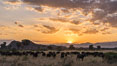 Cape Buffalo herd at sunset, Meru National Park, Kenya. Image #29640