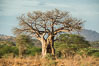 Baobab Tree, Meru National Park, Kenya. Image #29682