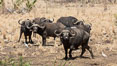 Cape Buffalo, Meru National Park, Kenya. Image #29721