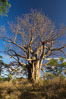 Baobab Tree, Meru National Park, Kenya. Image #29754