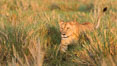 Lion female, Maasai Mara National Reserve, Kenya. Image #29917
