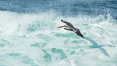 Brown pelican flying over waves and the surf. La Jolla, California, USA. Image #30199