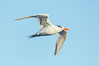 Royal tern in flight, winter adult phase. La Jolla, California, USA. Image #30307