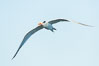 Royal tern in flight, winter adult phase. La Jolla, California, USA. Image #30319