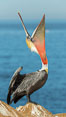 California Brown Pelican head throw, stretching its throat to keep it flexible and healthy. Note the winter mating plumage, olive and red throat, yellow head. La Jolla, USA. Image #30336