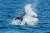 Killer whale attacking sea lion.  Biggs transient orca and California sea lion. Palos Verdes, USA. Image #30428