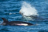 Killer whale attacking sea lion.  Biggs transient orca and California sea lion. Palos Verdes, USA. Image #30432