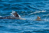 Killer whale attacking sea lion.  Biggs transient orca and California sea lion. Palos Verdes, USA. Image #30433