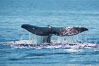 Gray whale raising fluke before diving, on southern migration to calving lagoons in Baja. San Diego, California, USA. Image #30463