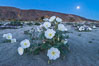Dune Evening Primrose and Full Moon, Anza Borrego. Anza-Borrego Desert State Park, Borrego Springs, California, USA. Image #30497