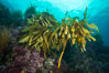 Southern sea palm, palm kelp, underwater, San Clemente Island. California, USA. Image #30868