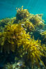 Southern sea palm, palm kelp, underwater, San Clemente Island. California, USA. Image #30920