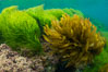 Southern sea palm (yellow) and surf grass (green), shallow water, San Clemente Island. California, USA. Image #30945