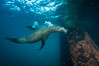 California sea lion at oil rig Eureka, underwater, among the pilings supporting the oil rig. Long Beach, California, USA. Image #31088