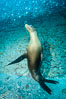 California sea lion underwater, Sea of Cortez, Mexico. Sea of Cortez, Baja California, Mexico. Image #31207