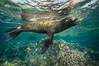 California sea lion underwater, Sea of Cortez, Mexico. Baja California. Image #31232