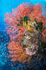 Sea fan gorgonian and schooling Anthias on pristine and beautiful coral reef, Fiji. Wakaya Island, Lomaiviti Archipelago. Image #31311