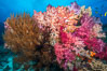 Colorful Dendronephthya Soft Corals and Black Coral, Fiji. Nigali Passage, Gau Island, Lomaiviti Archipelago. Image #31334