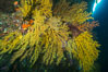 Colorful Chironephthya soft coral coloniea in Fiji, hanging off wall, resembling sea fans or gorgonians. Vatu I Ra Passage, Bligh Waters, Viti Levu  Island. Image #31502
