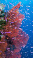 Sea fan gorgonian and schooling Anthias on pristine and beautiful coral reef, Fiji. Wakaya Island, Lomaiviti Archipelago. Image #31539