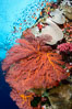Bright red sea fan gorgonian and yellow sarcophyton leather coral on pristine coral reef, Fiji. Image #31611