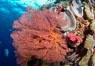 Bright red Plexauridae sea fan gorgonian and yellow sarcophyton leather coral on pristine coral reef, Fiji. Image #31612
