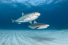 Two tiger sharks. Bahamas. Image #31875