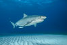 Tiger shark. Bahamas. Image #31883