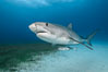 Tiger shark. Bahamas. Image #31897