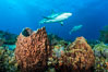 Caribbean reef shark swims over sponges and coral reef. Bahamas. Image #31978