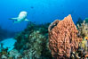 Caribbean reef shark swims over sponges and coral reef. Bahamas. Image #31979