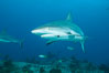 Caribbean reef shark with fishing hook. Bahamas. Image #31980