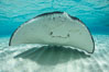 Southern Stingray, Stingray City, Grand Cayman Island. Cayman Islands. Image #32068