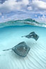 Southern Stingrays, Stingray City, Grand Cayman Island. Cayman Islands. Image #32171
