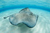 Southern Stingray, Stingray City, Grand Cayman Island. Cayman Islands. Image #32217