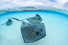 Southern Stingrays, Stingray City, Grand Cayman Island. Cayman Islands. Image #32235