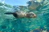 Sea Lion Underwater, Los Islotes, Sea of Cortez. Baja California, Mexico. Image #32503