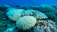 Coral reef expanse composed primarily of porites lobata, Clipperton Island, near eastern Pacific. France. Image #32956