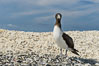 Brown booby, Clipperton island. Clipperton Island, France. Image #33075