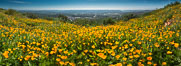 Panorama of California Poppies, Rancho La Costa, Carlsbad. USA. Image #33164