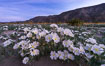 Dune Evening Primrose bloom in Anza Borrego Desert State Park, during the 2017 Superbloom. Anza-Borrego Desert State Park, Borrego Springs, California, USA. Image #33167