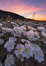 Dune Evening Primrose bloom in Anza Borrego Desert State Park, during the 2017 Superbloom. Anza-Borrego Desert State Park, Borrego Springs, California, USA. Image #33168