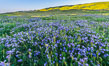 Wildflowers bloom across Carrizo Plains National Monument, during the 2017 Superbloom. Carrizo Plain National Monument, California, USA. Image #33227