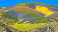 Wildflowers bloom across Carrizo Plains National Monument, during the 2017 Superbloom. Carrizo Plain National Monument, California, USA. Image #33242